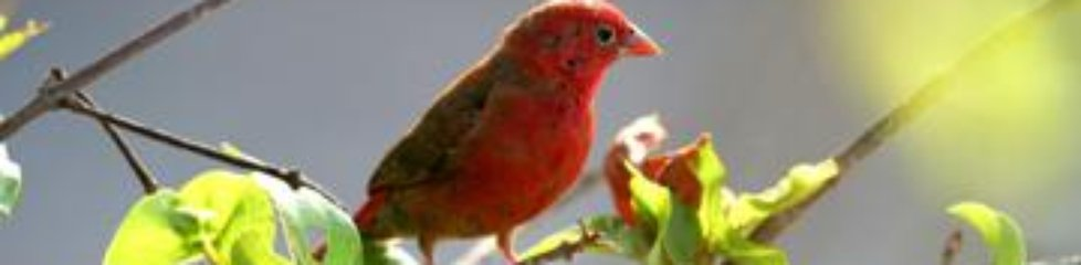 Red-billed Firefinch|